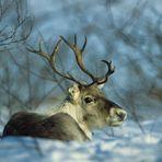 Ich hätt so gern ne rote Nase. Rentier in Lappland