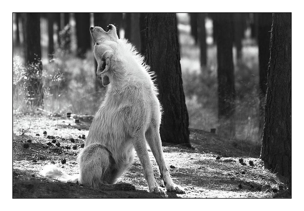 Ich heule mit den Wölfen...