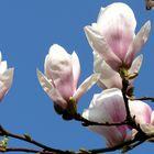 Ich liebe Magnolien