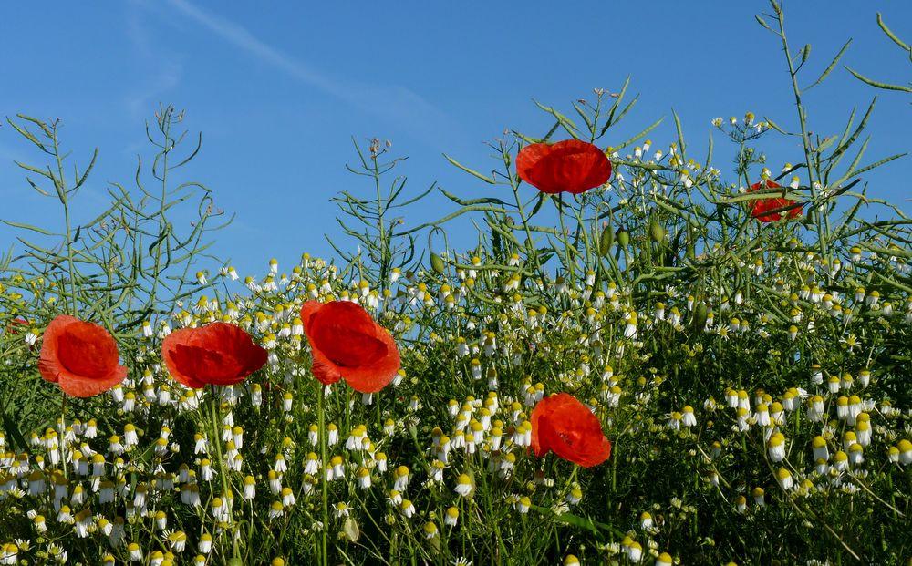 Ich liebe Mohnblumen 3