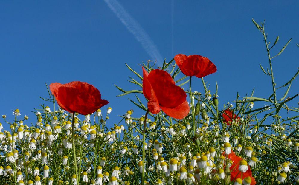 Ich liebe Mohnblumen 4