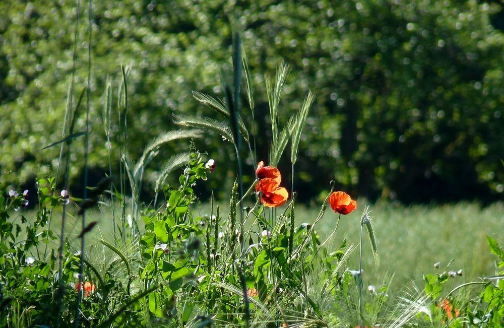 Ich liebe Mohnblumen 8