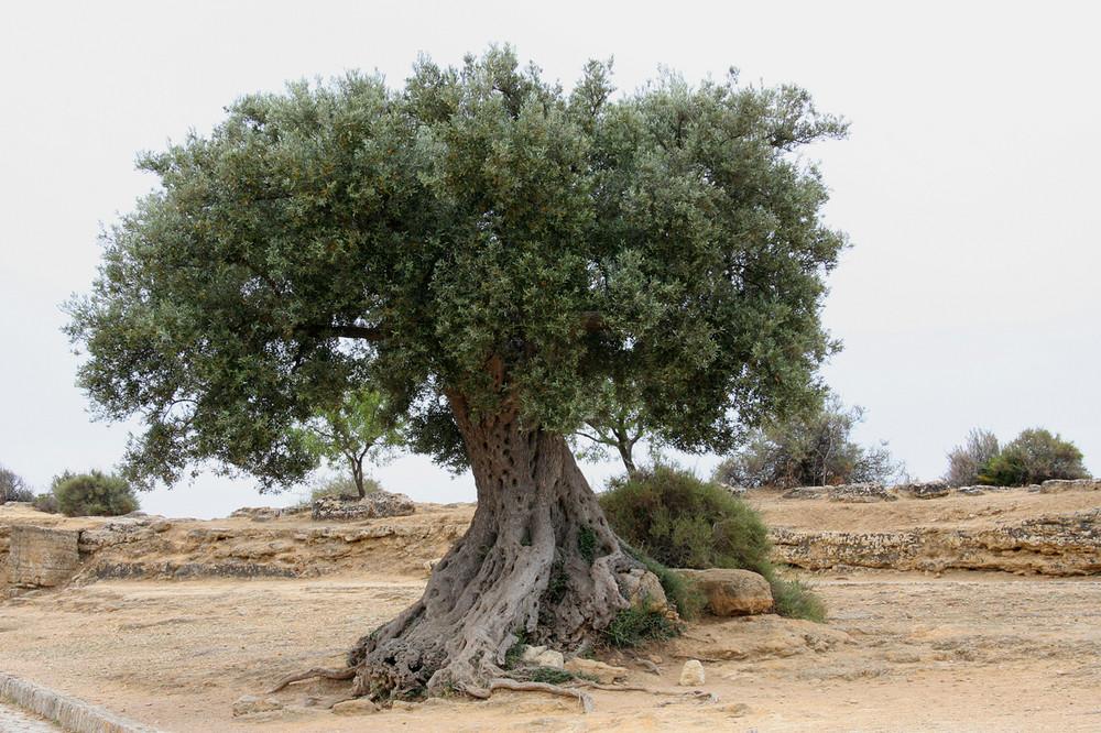 Ich liebe Olivenbäume