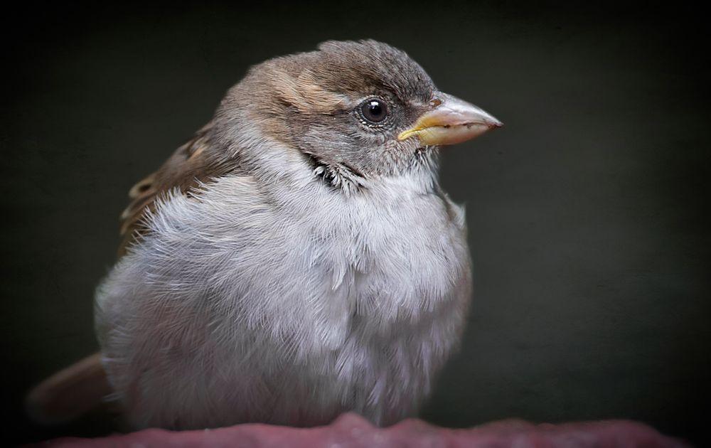 Ich mag Vögel - auch Spatzen ....