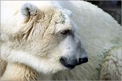 ... ich möchte ein Eisbär sein ...