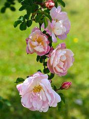 * Ich schenk Dir eine Rose! *