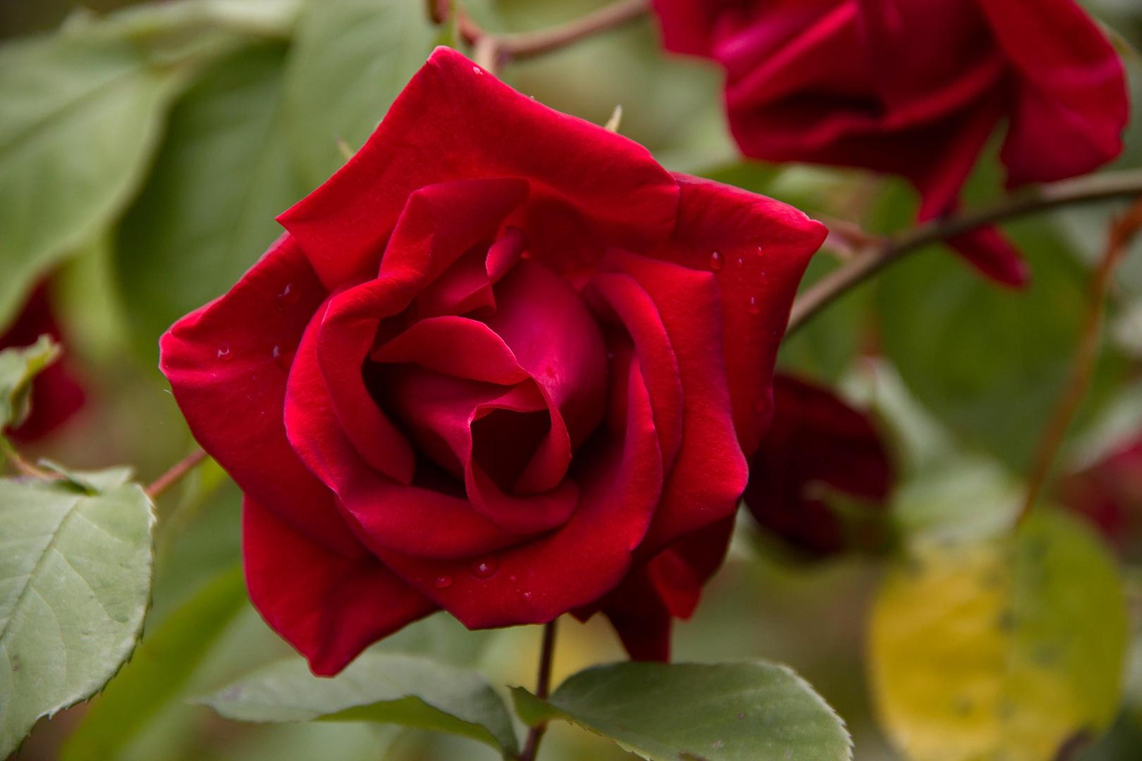 Ich Schenke Dir Die Schönste Rote Rose Für Diese Liebe Foto