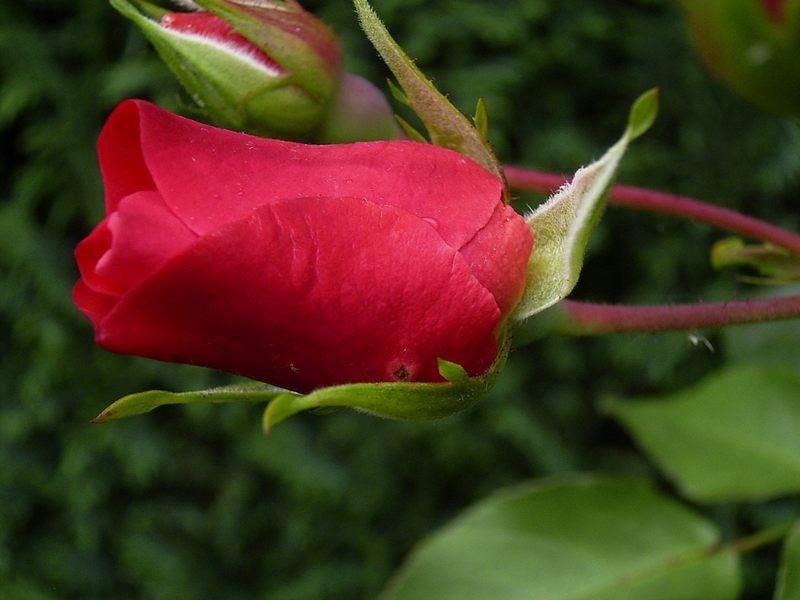 ich schenke dir eine Rose