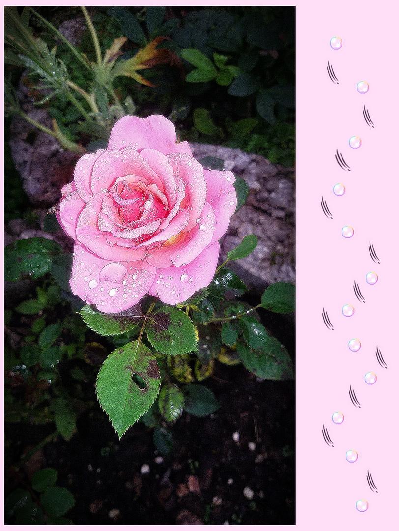 ich schenke dir eine rose zum mittwoch foto bild fotos spezial sommer bilder auf fotocommunity. Black Bedroom Furniture Sets. Home Design Ideas