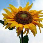 Ich schenke euch eine Sonnenblume