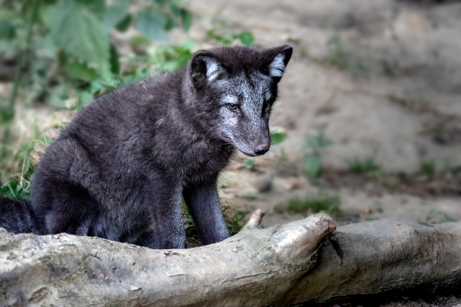 ich werd einmal ein böser Wolf