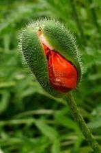 Ich werde eine Mohnblume