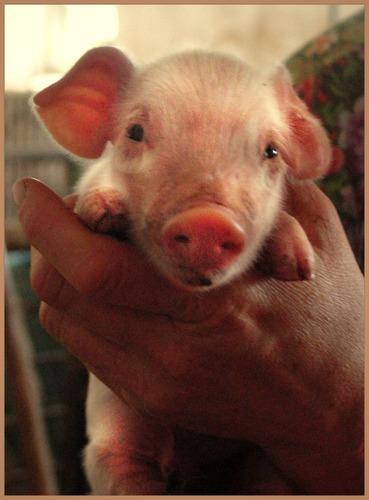 Ich will Dein Glücksschweinchen sein ( oder eine Handvoll Schwein)