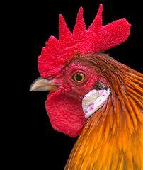 Ich wollt ich wär ein Huhn .....