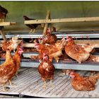 Ich wollt ich wär kein Huhn
