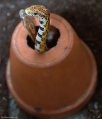 Ich wollte eigentlich Schlangengurken haben , aber keiner versteht mich