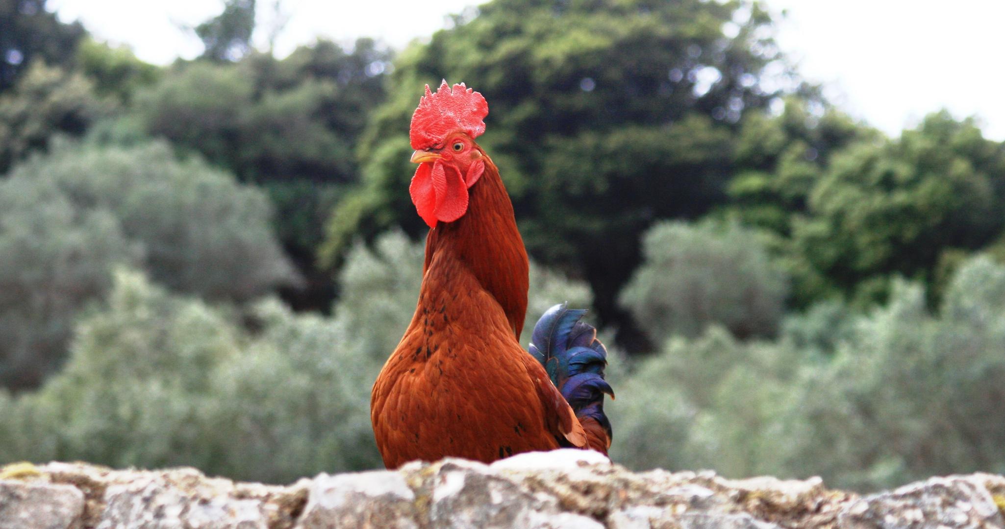 ... ich wünscht ich wäre ein Huhn, ich hätt nicht viel zu tun ...