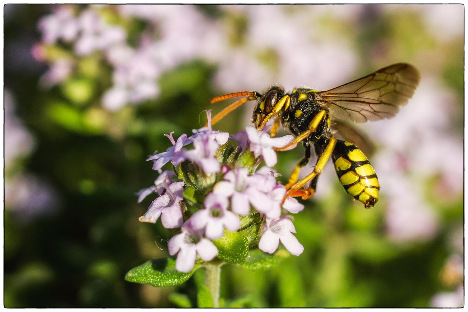 Ichneumonidae an Thymus vulgaris