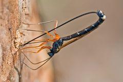 Ichneumonidae (Ephialtini)