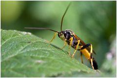 Ichneumonidae sp.