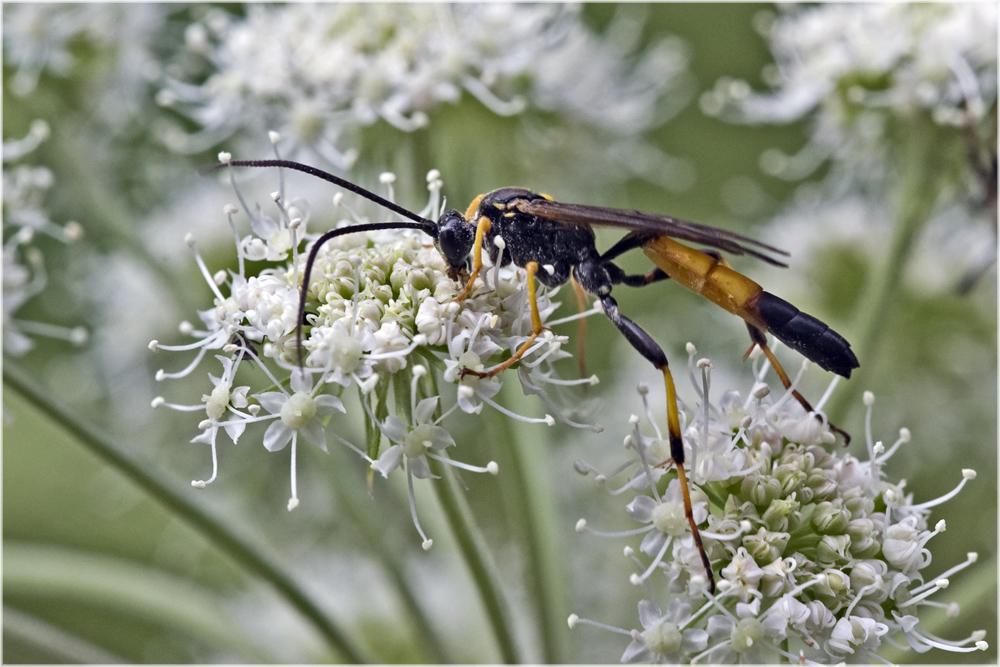Ichneumoninae sp.