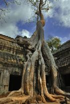 Iconic tree of Ta Prohm taking over the ruins