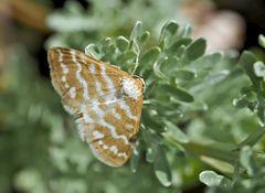 Idaea sericeata: ein extrem seltener Spanner! - L'Acidalie soyeuse.