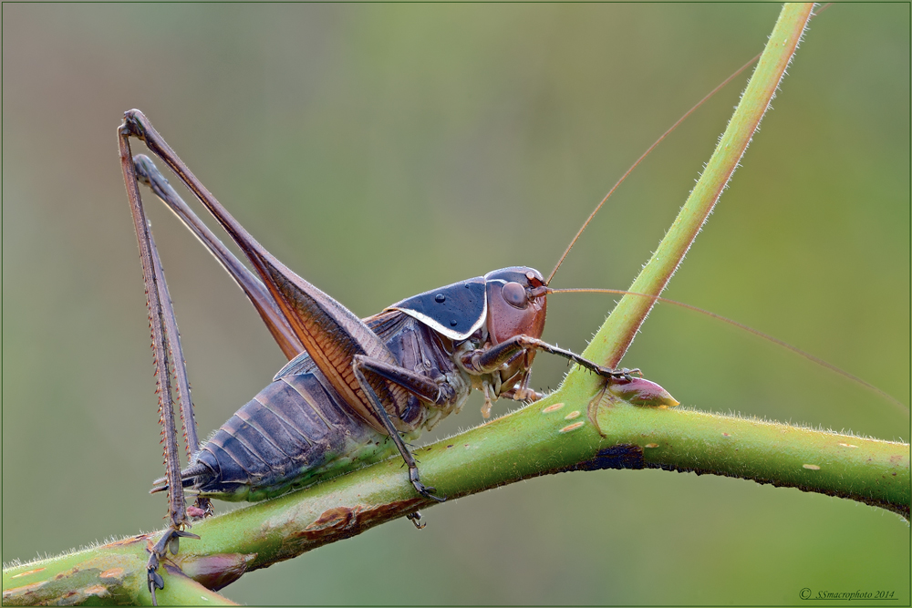 Identificato! -Sepiana sepium (male)