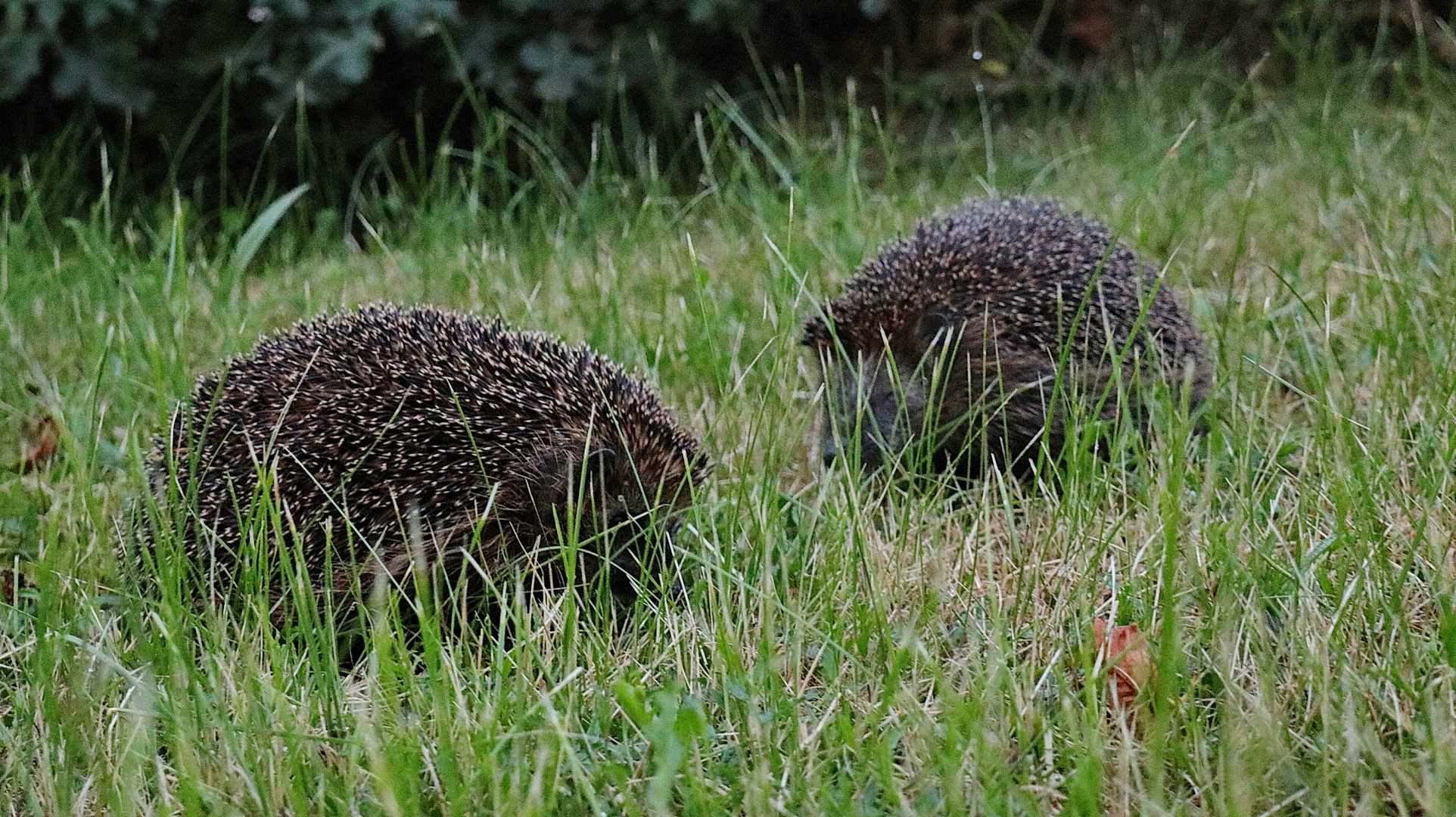 igel 1 foto  bild  tiere wildlife säugetiere bilder