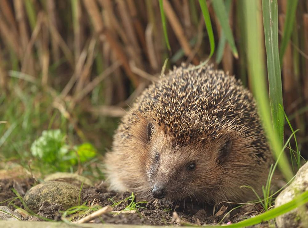 igel foto  bild  tiere wildlife wildlife sonstige