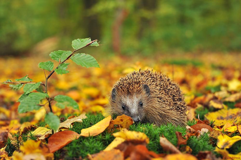 Igel Herbst