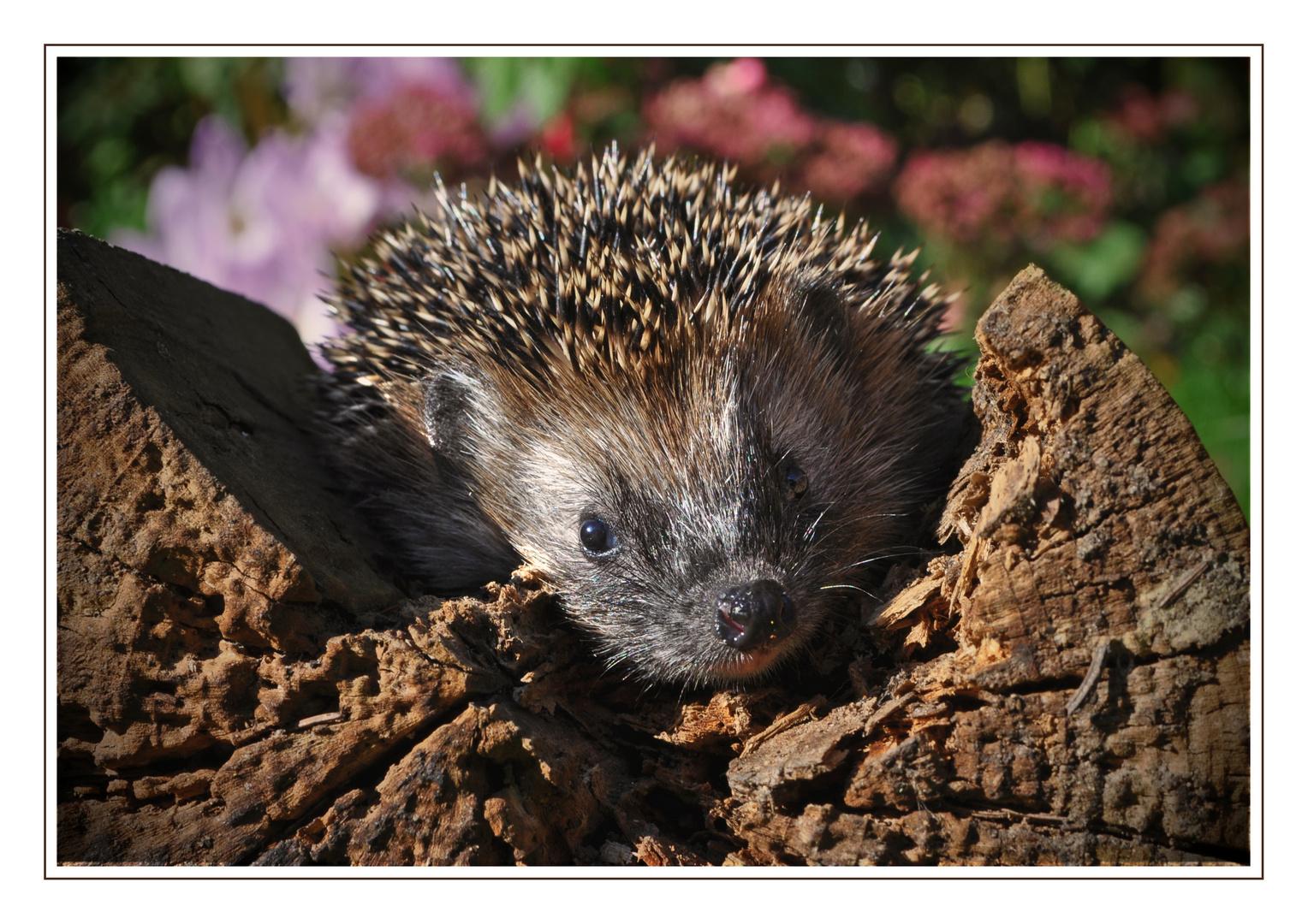 igel im herbst foto  bild  tiere tierkinder tierische