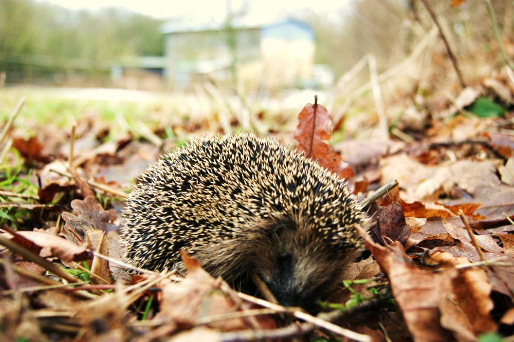 igel im winter foto bild tiere wildlife wildlife sonstige tiere bilder auf fotocommunity. Black Bedroom Furniture Sets. Home Design Ideas