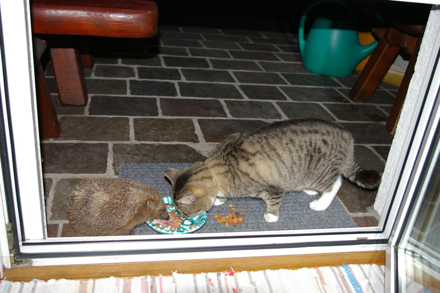 Igel und Katze beim Fressen