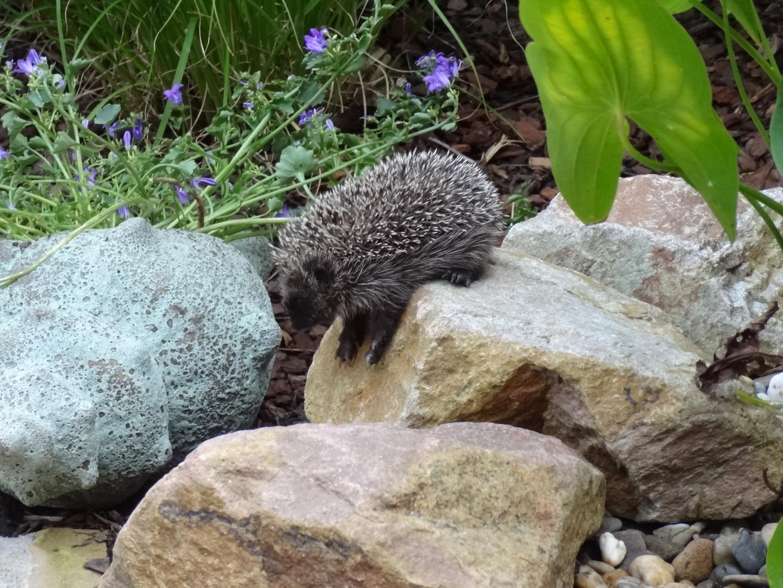 Igelbesuch im Garten