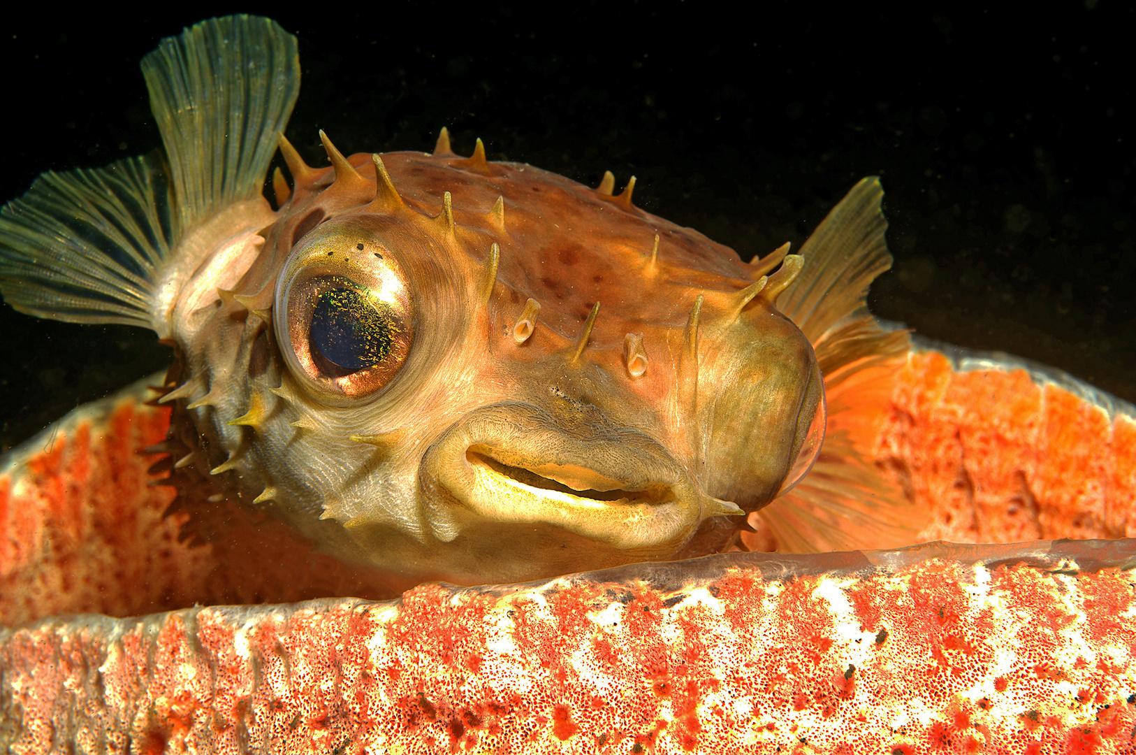 Igelfisch, Lembeh Strait, Nord-Sulawesi/Indonesien