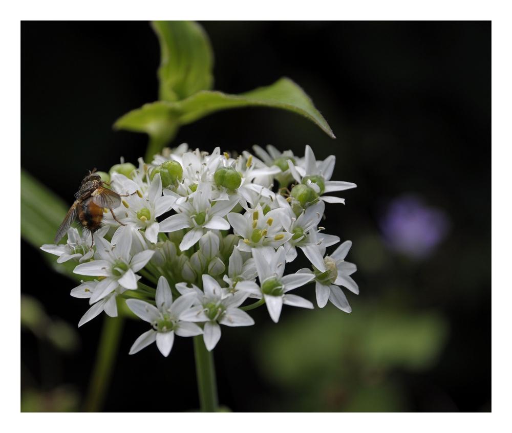 Igelfliege auf Allium tuberosum (Knoblauch-Schnittlauch)