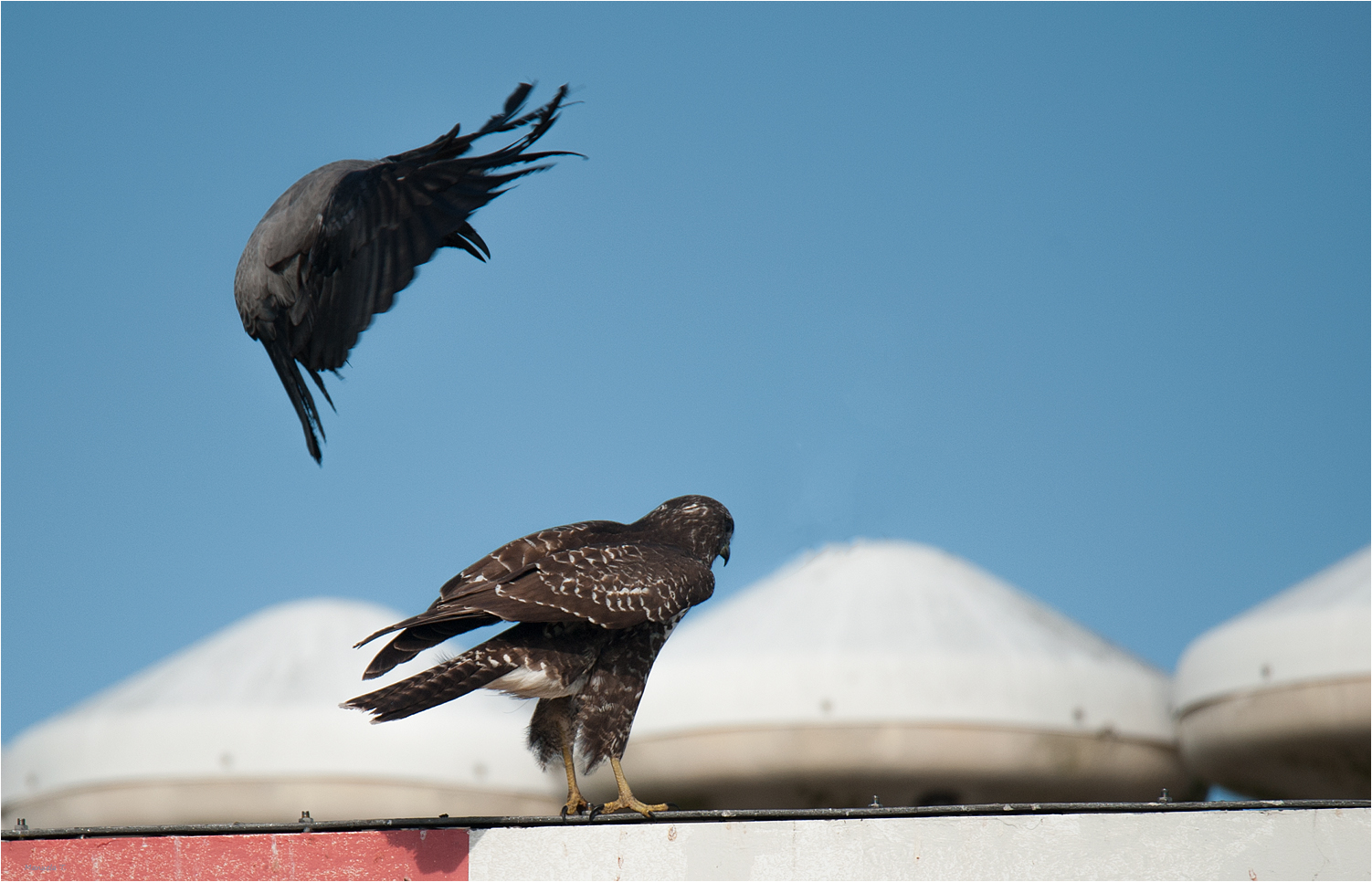 ignored by the buzzard