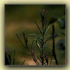 Ignotis florum 1/2
