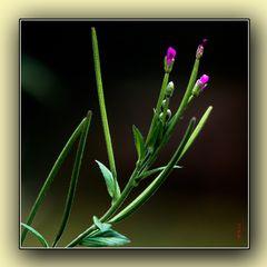 Ignotis florum 2/2