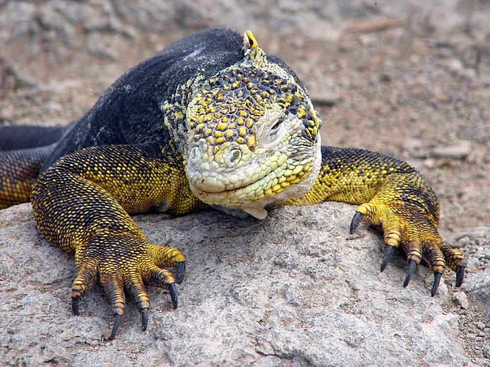 Iguana auf Plaza Sur