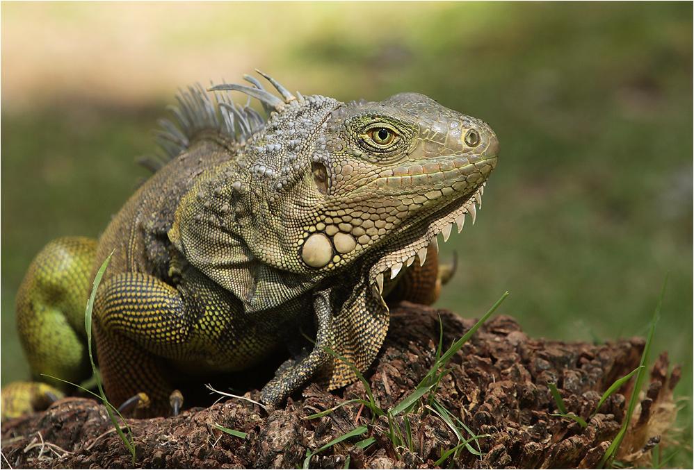 [ iguana ]