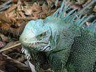 Iguana da Amazonia