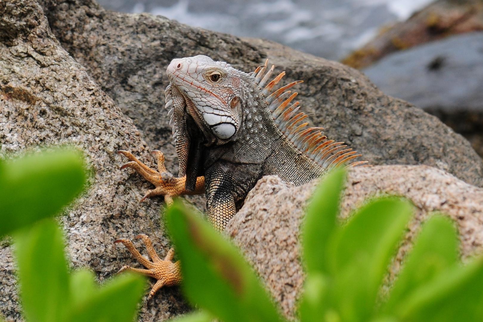 Iguana in Curacao