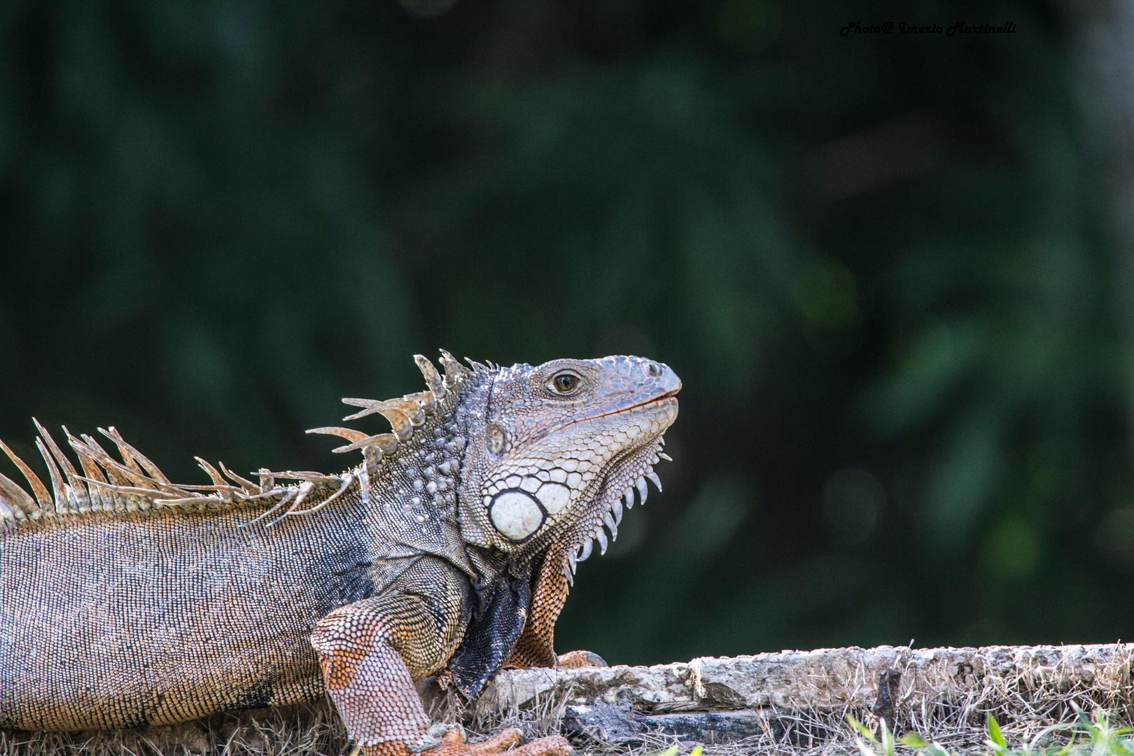 Iguana in the park