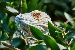 Iguana, Leguan