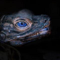 Iguane des Philippines