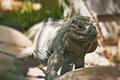 Iguanidae - Leguane