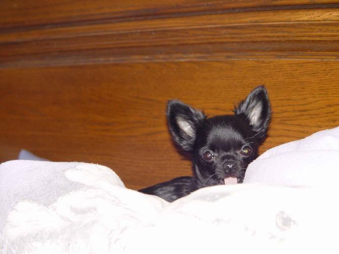 Ihr könnt mich mal! Wie mich diese Knipserei nervt... - Chihuahua Felix