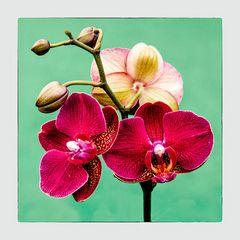 Ihre Schönheit die Orchidee